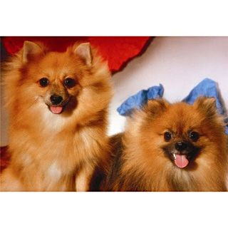 The Pomeranians
